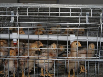 Pullet Cage